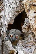 Petter-Wieselmaki (Lepilemur petteri), Tulear, Madagaskar<br /> <br /> Petter's sportive lemur (Lepilemur petteri), Tulear, Madagascar