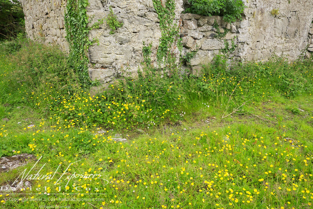 Wild flowers grow along the walls of 13th century Carron Church in the Burren, Co. Clare, Ireland
