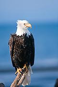 Alaska . Homer . Bald Eagle (Haliaeetus leucocephalus) resting on stump with wind ruffling feathers.