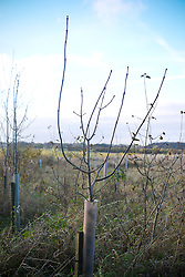 © Licensed to London News Pictures. 07/11/2012. LAWSHALL, UK Infected ash trees at a site managed by the Green Light Trust in East Anglia today, 7th November 2012. UK ash trees are threatened by the spread of Chalara disease, more commonly known as Ash Dieback. The Green Light Trust, an environmental charity near Bury St Edmunds has found its stock of Ash trees decimated with the disease. The community managed woodland has set up an appeal to help find a long term solution to the disease.  Photo credit : Stephen Simpson/LNP