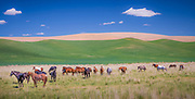 Horses in the Palouse area of eastern Washington state. The Palouse is a region of the northwestern United States, encompassing parts of southeastern Washington, north central Idaho and, in some definitions, extending south into northeast Oregon. It is a major agricultural area, primarily producing wheat and legumes.