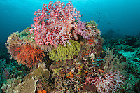 Rainbow of Soft Croals and Crinoids, Diver<br /> <br /> Shot in Indonesia