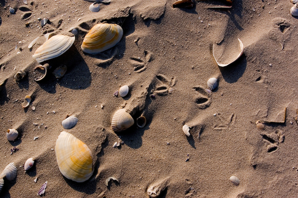 Common cockle, Cerastoma edule and unidentified clam shells on sandy beach<br /> Japsand, Wattenmeer, Wadden See National park, Unesco World Heritage Site, Germany
