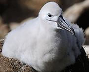 Fluffy gray black-browed albatross (Thalassarche melanophris) chicks sit on their pot-shaped nests. Saunders Island, Falkland Islands. 15Feb16