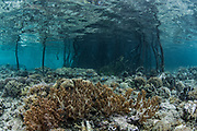 Soft Coral (Nephthea sp) in mangrove<br /> Raja Ampat<br /> West Papua<br /> Indonesia