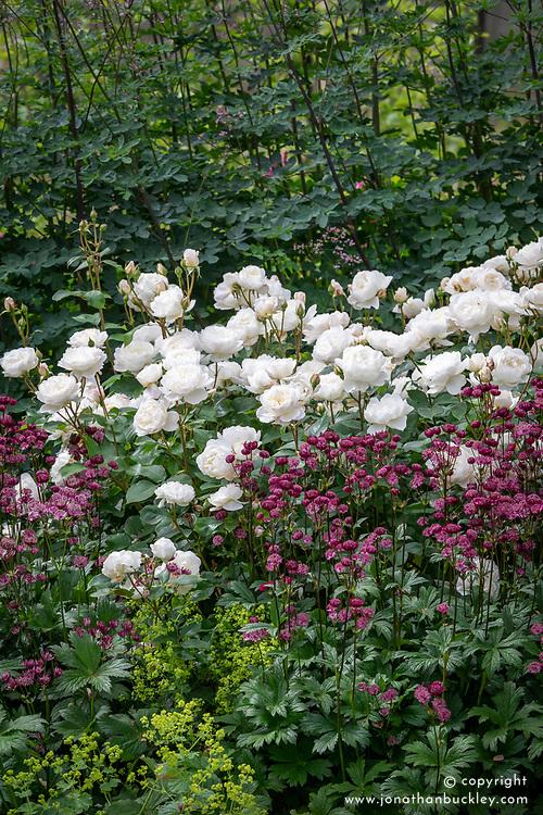 Rosa 'Desdemona' syn. 'Auskindling' with Astrantia major 'Claret'