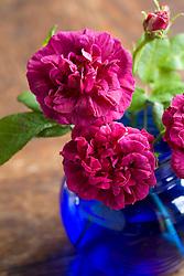 Rosa 'Sissinghurst Castle' in a blue vase