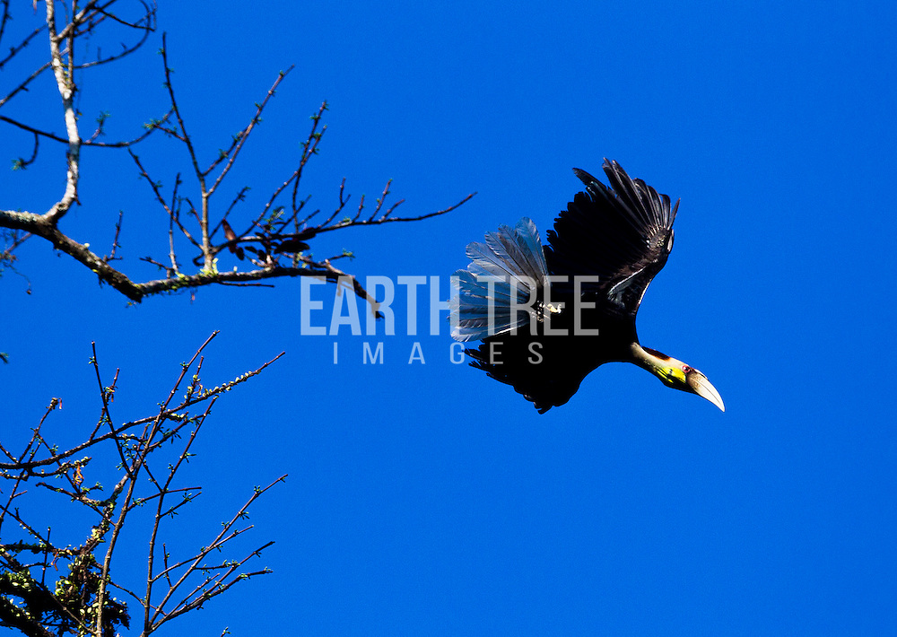 Hornbill in the Lesuer Ecosystem, Sumatra, Indonesia