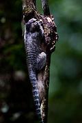 Nova Lima_MG, Brasil...Fauna na Estacao Ecologica dos Fechos, Condominio Pasargada. Na foto um sagui...The fauna in the Fechos Ecological Station, Passargada condominium. In this photo a monkey. ..Foto: JOAO MARCOS ROSA / NITRO