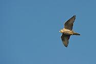 Gyrfalcon, Falco rusticolus, Hornøya Island, Varanger Peninsula, Norway, Scandinavia