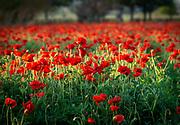 Red poppies, Wildseed Farms, Fredericksburg, Texas