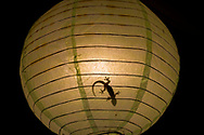 A gecko hunts insects at night from within a spherical hanging lamp