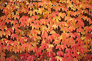 Autumn ivy leaves turn through yellow and orange to red before dropping.