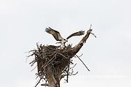 00783-01809 Osprey (Pandion haliaetus) in flight to nest with food Cruickshank Sanctuary - Brevard County, FL