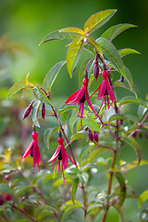 Fuchsia 'Dying Embers'