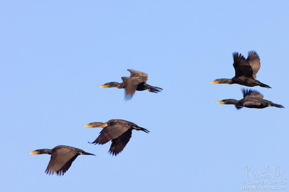 Five double-crested cormorants (Phalacrocorax auritus) fly in formation over the Leque Island Wildlife Area in Stanwood, Washington.