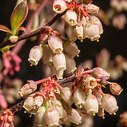 Highbush Blueberry Blossums in Reedy Meadow, Lynnfield, MA.