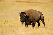 Bison at the National Bison Range Montana.