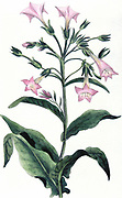 Tobacco: Nicotiana tabacum. Hand-coloured engraving 1823
