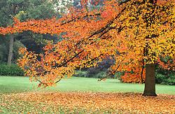 Nyssa sylvatica ( Black gum, Tulepo ) in full autumn colour at RHS gardens Wisley