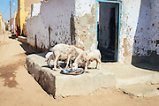Leftovers are served to the livestock