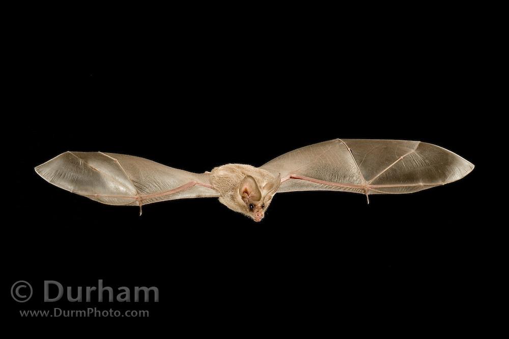 A california leaf-nosed bat (Macrotus californicus) photographed in Copper Mountains of the Cabeza Prieta National Wildlife Refuge, Arizona.