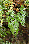 Wilson's Filmy-fern - Hymenophyllum wilsonii