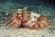 cuttlefish, Sepia latimanus, color change sequence  #1 of 3, when first encountered, the cuttlefish is brown with a pale band and neon-blue margin, Mabul Island, Borneo, Malaysia ( Celebes Sea )