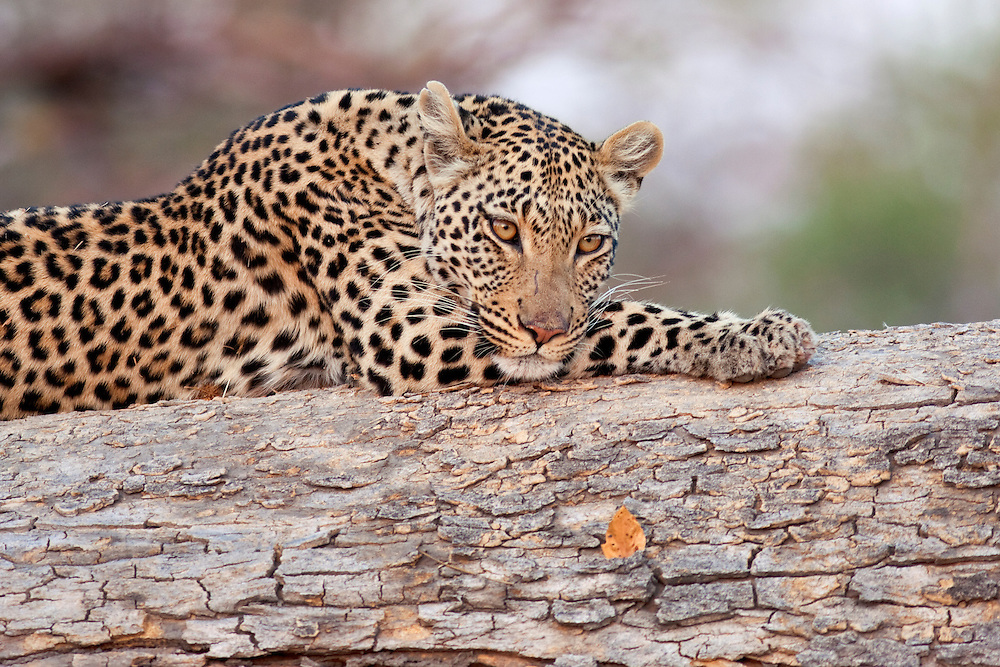 Portrait of a female leopard in soft light, resting on a log while looking at the camera.  Savuti, Linyanti Wildlife Reserve, Botswana.