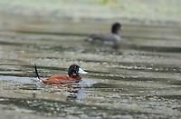 Male Andean Ruddy Duck, Oxyura ferruginea, swimming on San Pablo Lake, Ecuador