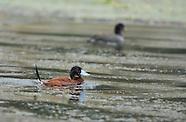 Andean Ruddy Duck, Oxyura ferruginea