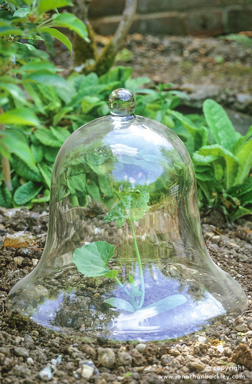 Glass bell cloche protecting young courgette plant.