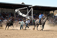 Wilsall Ranch Rodeo, Montana, Wild Cow Milking, Cleve Swandel, Kurt Mraz, Cody Wilsey, Lazy SR Ranch Team..