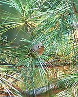 Yellow-rumped Warbler (Setophaga coronata). Image taken with a Nikon D4 camera and 105 mm f/2.8 VR macro lens with a 2.0x TC-EII teleconverter