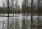 Salix Alba Caerulea, cricket bat willow trees in flood water on River Deben flood plain wetland, Campsea Ashe, Suffolk, England