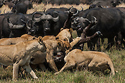 Lions (Panthera leo) hunting buffalo (Syncerus caffer) <br /> Duba Plains area. Okavango Delta. BOTSWANA. Southern Africa.<br /> THIS BUFFALO HERD AND ITS LION INTERACTION HAS BEEN THE SUBJECT OF A NATIONAL GEOGRAPHIC DOCUMENTARY FILMED BY DEREK AND BEVERLEY JOUBERT.<br /> This herd is under constant stress with these lions stalking and hunting them on a regular basis. At night the buffalo sleep in a tight group with bulls on the outside and calves in the middle.  The lions face a row a horns and can not attack them. But in the morning when they get up and start moving to feed the lions start following them and look for an opportunity to attack either an old or injured adult or calf.
