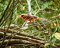 Northern Cardinal. Image taken with a Nikon N1V1 camera and 10-100 mm VR lens