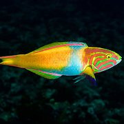 This is a yellow-green wrasse (Thalassoma lutescens) male engaging in courtship display. He spawned several times while I observed, each time with a different female. He also chased away a number of other males.