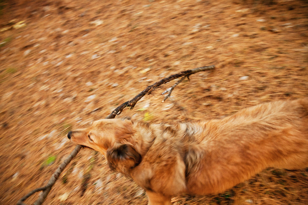 Collie mix running through a pine forest with a stick