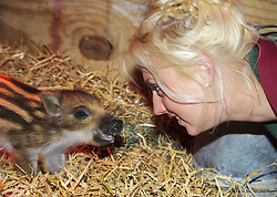 © Licensed to London News Pictures. 15/05/2013 London, UK. Four week old Wild Boar piglet Gertie with surrogate mum, Jo Shirley at Whipsnade Zoo, Beds. Gertie and her triplet sisters Hettie and Dotty are being hand-reared by keepers at the wild animal park..Photo credit : Simon Jacobs/LNP