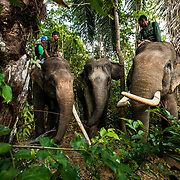GPS collars are being fitted to elephant herds within the Leuser Ecosystem. To prevent human - elephant conflict.  Photo: Paul Hilton for Earth Tree