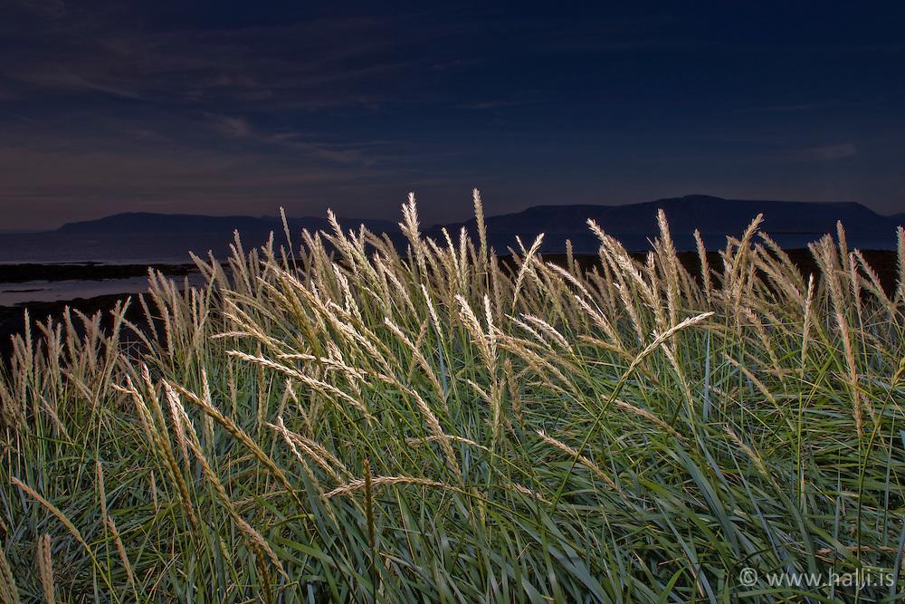 Grass during sunset, Iceland - gras og strá við sólsetur á Gróttu