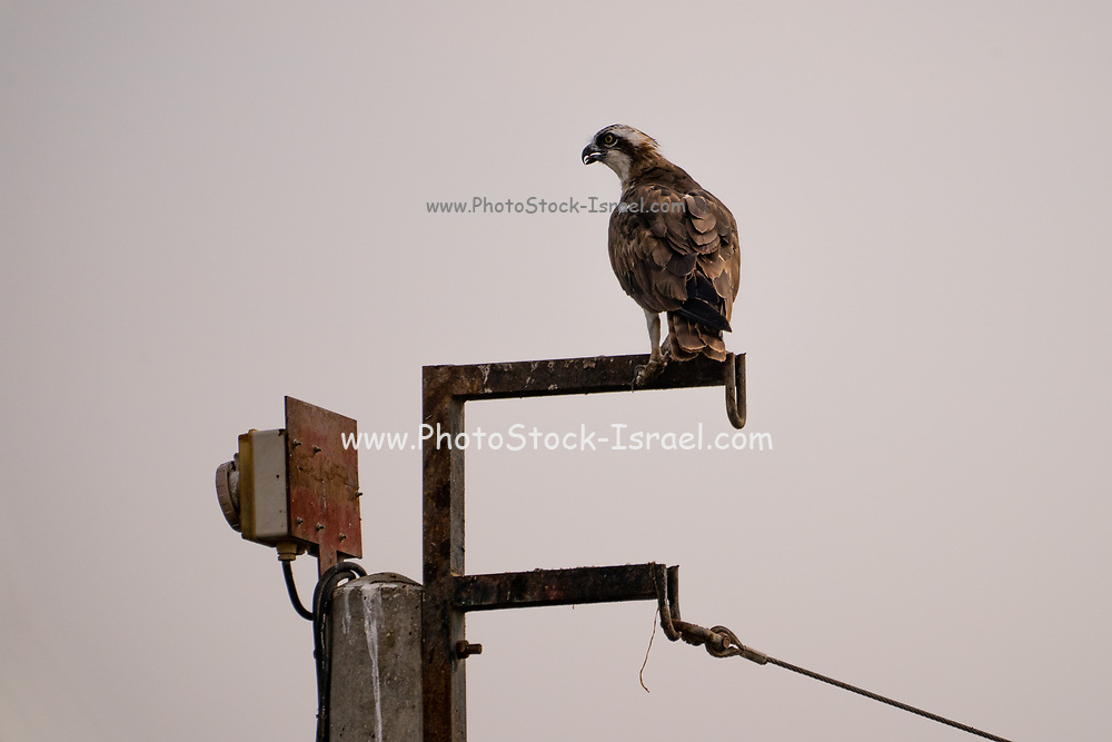 The osprey or more specifically the western osprey (Pandion haliaetus) — also called sea hawk, river hawk, and fish hawk — is a diurnal, fish-eating bird of prey with a cosmopolitan range. It is a large raptor, reaching more than 60 cm (24 in) in length and 180 cm (71 in) across the wings. It is brown on the upperparts and predominantly greyish on the head and underparts. Photographed in Israel in November