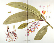 Hand painted botanical study of a ginger (zerumbet) plant anatomy from Fragmenta Botanica by Nikolaus Joseph Freiherr von Jacquin or Baron Nikolaus von Jacquin (printed in Vienna in 1809)