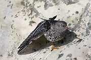 Purple Sandpiper, Calidris maritima, at roost with wing stretch