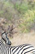 A zebra in the Okavango Delta, Botswana