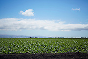 Monoculture industrial agriculture