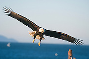 Alaska . Homer . Bald Eagle (Haliaeetus leucocephalus) in flight .