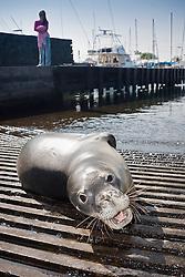 Hawaiian monk seal, Monachus schauinslandi, basking at boat ramp, young male, critically endangered, Honokohau Harbor, Kona Coast, Big Island, Hawaii, USA, Pacific Ocean, MR 090226-NU