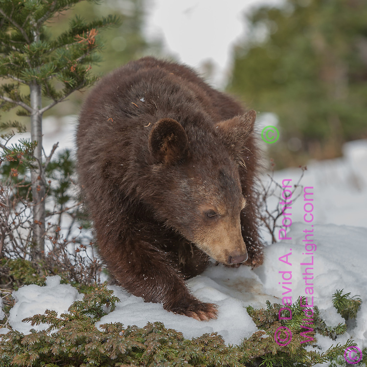 Young blackbear walking in snow, edge of forest, with a small fir tree and dwarf juniper, Montana, © David A. Ponton